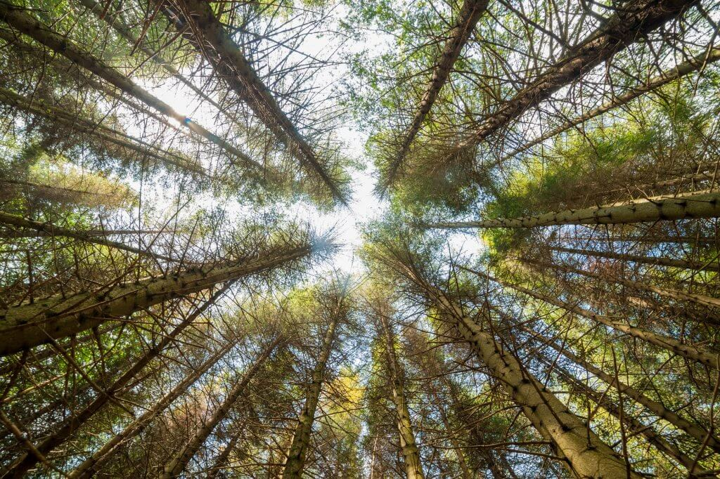Looking up under pine trees.
